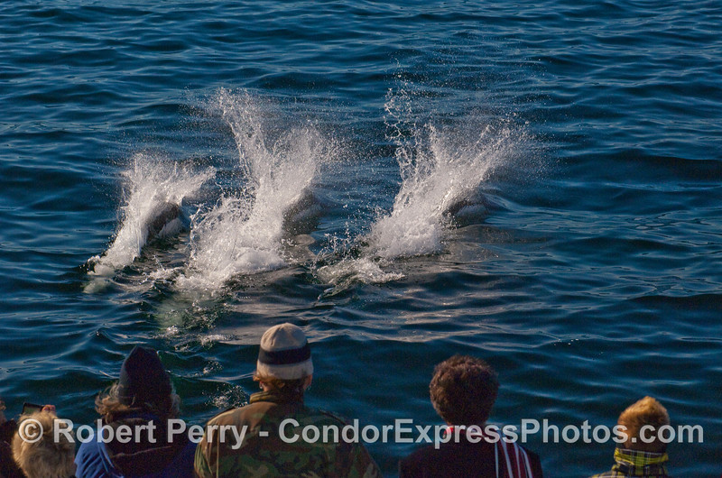 Three Dall's Porpoise (Phocoenoides dalli) entertain the whalers on board the Condor Express.