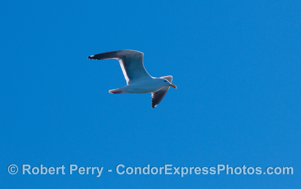 A curious Western Gull (Larus occidentalis) takes a look at the whalers on board the Condor Express.