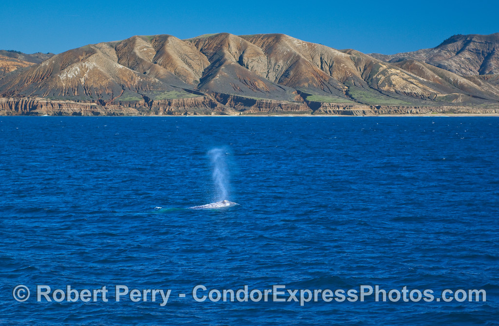 A Gray Whale (Eschrichtius robustus) spouts with the southwest corner of Santa Cruz Island in the background.