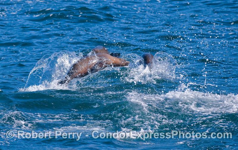 Several young California Sea Lions (Zalophus californianus) frolic about.