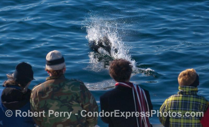 A Dall's Porpoise (Phocoenoides dalli) rides the bow.