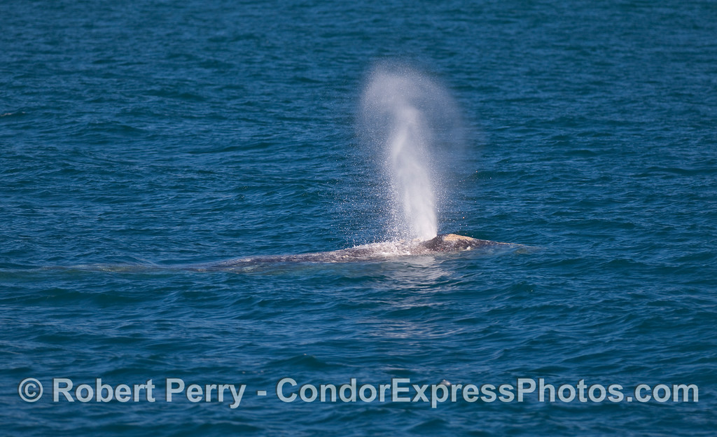 Another Gray Whale (Eschrichtius robustus) spouts.
