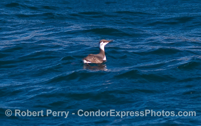 A Common Murre (Uria aalge) floats on the blue water.