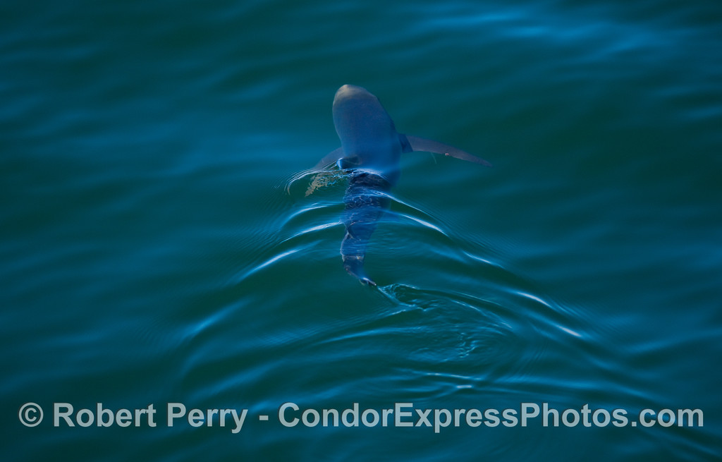 A small Blue Shark (Prionace glauca).
