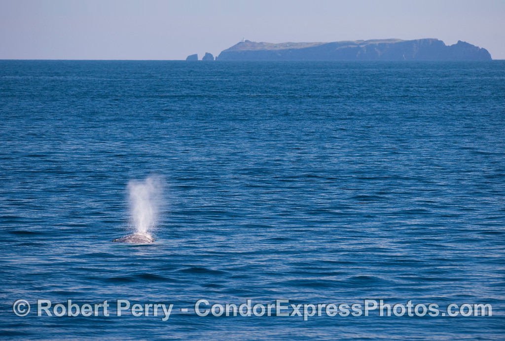 Spouting Gray Whale (Eschrichtius robustus) with East Anacapa Island in back.