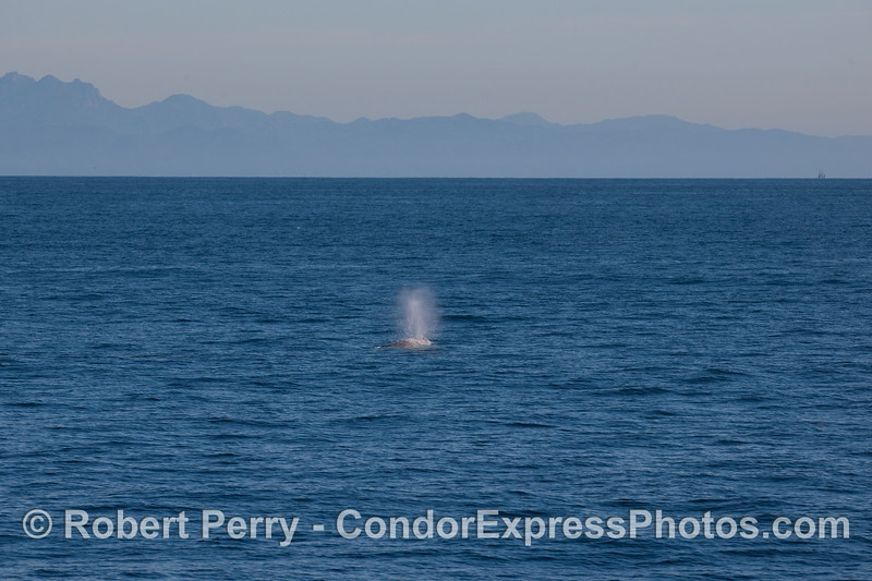 Gray Whale (Eschrichtius robustus) with Santa Ynez mountains in back.