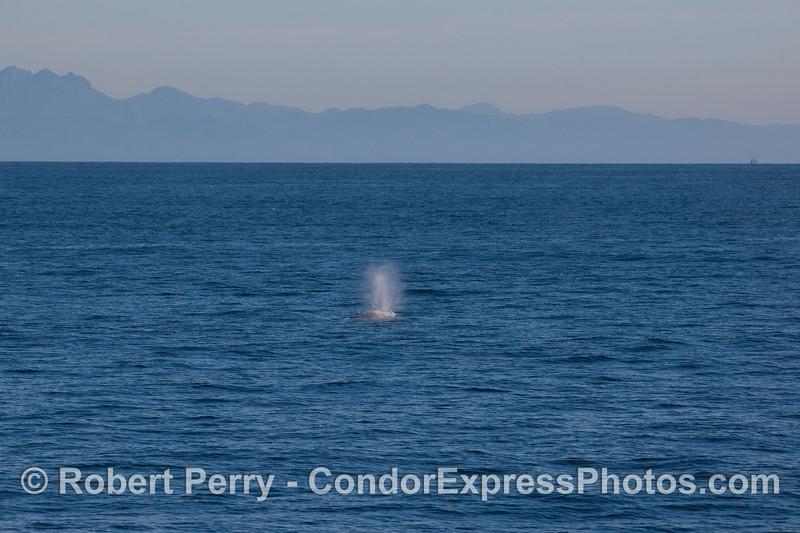 Gray Whale (Eschrichtius robustus) with Santa Ynez mountains in back.