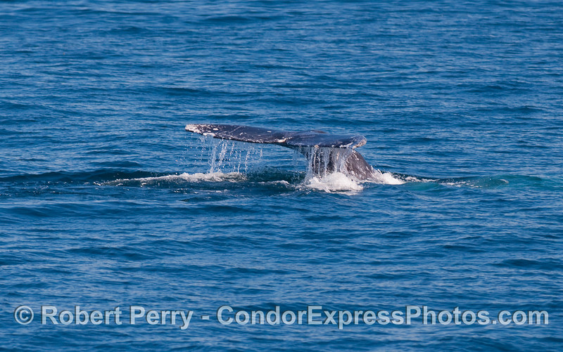 Gray Whale (Eschrichtius robustus) tail fluke sequence:  image 1 of 3.