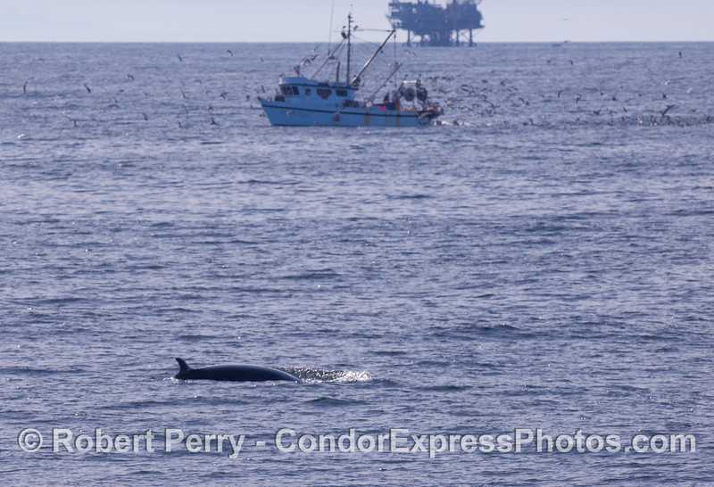 A glimpse into the multiple uses of the Santa Barbara Channel:  commercial fishing boat 'Golden Eagle,' Oil Platform Habitat, and a Minke Whale.