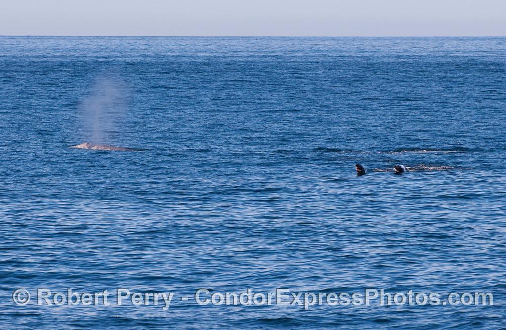 Two California Sea Lions (Zalophus californianus) investigate a Gray Whale (Eschrichtius robustus).