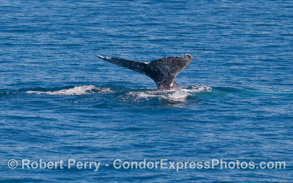 Gray Whale (Eschrichtius robustus) tail fluke sequence:  image 2 of 3.