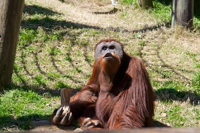 Ever seen an orangutan  blow kisses?