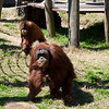 The orangutans came running when the zookeeper showed up with food.