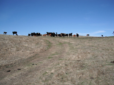 30+ cattle, 60+ eyes on US.