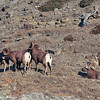 these first pictures were taken first thing in the morning sun.....sheep were a long ways up the mountain.  I used 800mm telephoto lens to get these pictures from the road