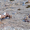 these are all Big Horn Sheep.....males as the rutting season is now in full swing