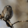 you can see from this picture the 2 black feather patches that make this owl look like it has eyes in the back of its head...that is so other creatures think it is looking at it...its a trade mark of the Pygmy Owl edit