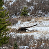 This was on Elbow Falls Higiway a young 2 spike bull moose dead and laying there....nothing had touched it yet