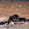 A scrawny dog looking for food in the Soweto township