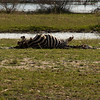 A half eaten Zebra cadaver - the guide told us that the lions killed a younger one the same evening. They prefer the more tender meat of the young Zebra, so they left this one to rot..