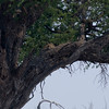 Another leopard .. can you see her?