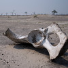 part of an elephant hip or shoulder