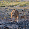 Another lion drinking at a water hole