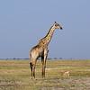 Impala and a giraffe
