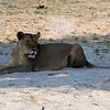 The first Lion that we saw