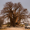 the actual 2nd largest tree in Africa