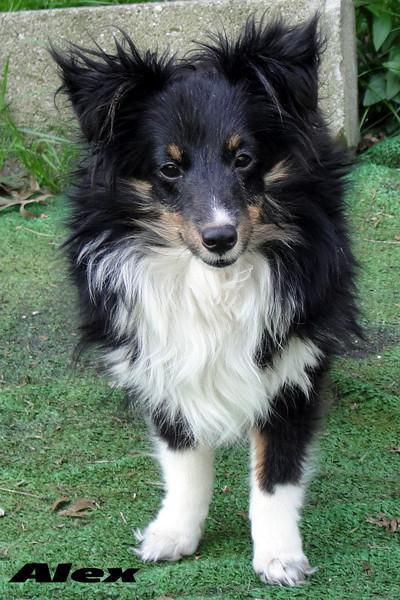Alex tri-color sheltie (puppy )