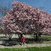 Spring stroll: Delight Dowell walks around Collett Park early Sunday afternoon. With both the magnolia trees and Spring Beauty flowers in full bloom the northside park attracted many visitors in the warm weather.