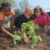 Good start: Meadows Elementary School students Davonnah Cooley, Abbye Amerman and Josh Readinger tamp the soil around a newly transplanted tomato plant in the schools' garden.