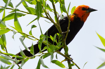 Scarlett-headed blackbird