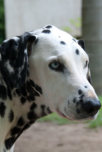 Very sweet dalmation