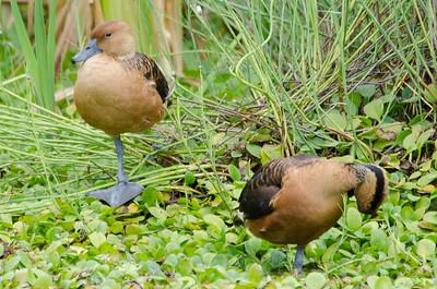 Fulvous tree-ducks