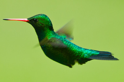 Glittering-bellied emerald hummingbird