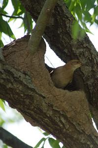 Nesting Rufous Hornero