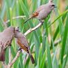 Bay-winged cowbirds