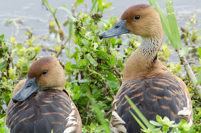 Fulvous tree-duck