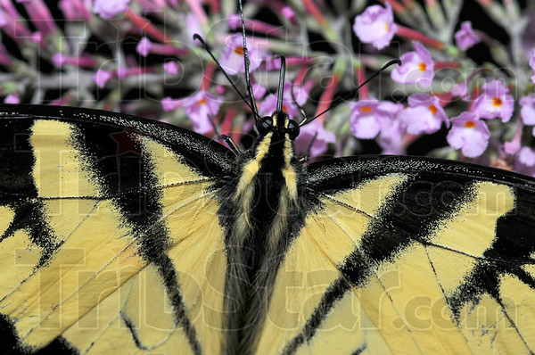 Dinnertime: A Tiger Swallowtail drinks from blossoms at Dobb's Park.