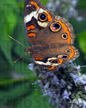 Big name: A Great Spangled Frittilary sips nectar from a Dobb's Park butterfly bush.