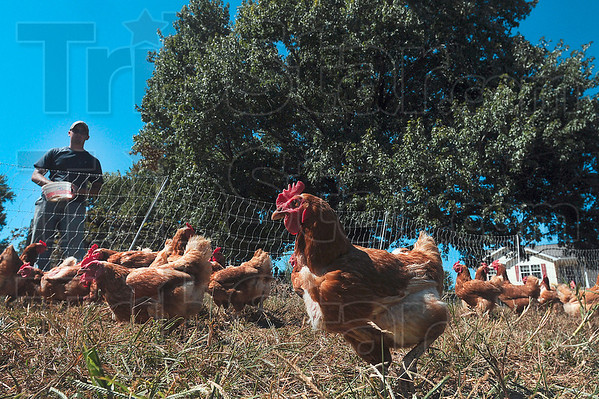 Tribune-Star/Joseph C. Garza<br /> Local producer: A Red Sexlink hen scurries about her pen in search of feed as she and her fellow chickens are fed by Cory Eastham at the Lau Farm in Edgar County, Ill., Friday.