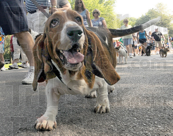 Low down: A Basset hound checks out the low camera position at the start of the 3rd Annual Bark in the Park event Saturday morning.
