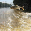 Leaper: An Asian carp leaps from the Wabash River astern of Brendan Kearns' boat Sunday afternoon.