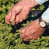Tribune-Star/Joseph C. Garza<br /> Harvesting a herb: Master Gardener Larry Agee, vice president of the Wabash Valley Master Gardeners Association, picks sweet basil leaves Monday for delivery to one of the local soup kitchens.