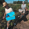 Tribune-Star/Joseph C. Garza<br /> A healthy donation: Bob Archer and Phil Small, master gardeners with the Wabash Valley Master Gardeners Association, carry what they have harvested out of the garden at the Wabash Valley Fairgrounds Monday. The produce was then donated to the St. Patrick's Parish soup kitchen.