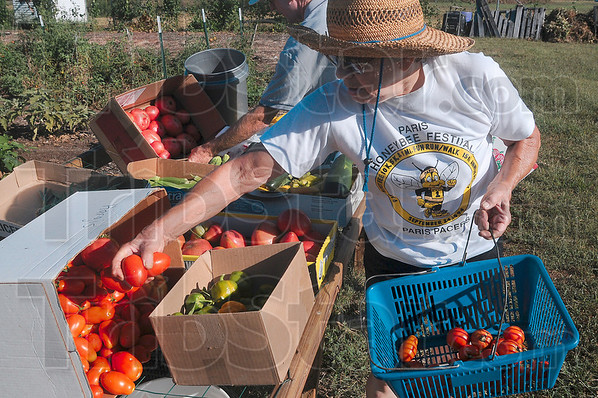 Tribune-Star/Joseph C. Garza<br /> Handful of harvest: Ruth Johnson, a master gardener with the Wabash Valley Master Gardeners Association, drops a few more tomatoes into a box for transport to one of the local soup kitchens Monday at the Wabash Valley Fairgrounds.