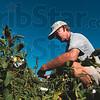 Tribune-Star/Joseph C. Garza<br /> Harvest of giving: Master Gardener Phil Small of the Wabash Valley Master Gardeners Association harvests tomatoes from the garden at the Wabash Valley Fairgrounds Monday.