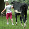 Follow me: Parke County 4-H winner Jodi Jones leads her animal back to the barn after being photographed at her home Saturday afternoon.